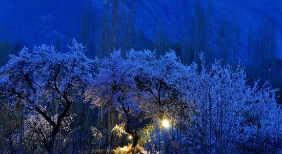 Baltistan The apricot bloom
