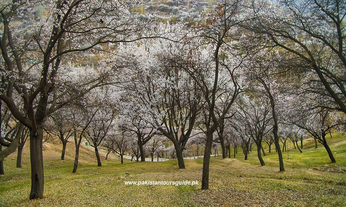 Cherry blossom in garden