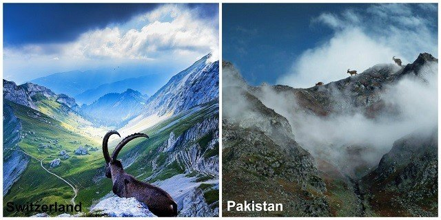 Ibex, the National Animal of Pakistan