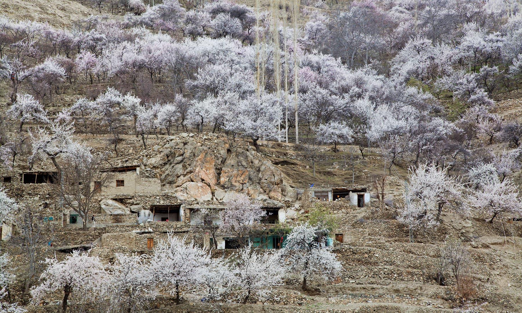 Cherry blossom in Nagar khas