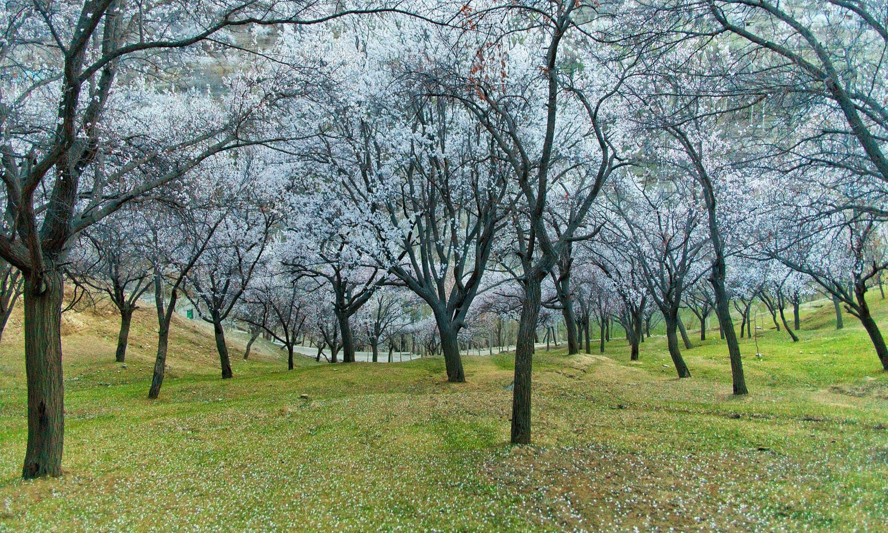 Cherry blossom in Nagar Khas..